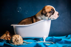 American Staffordshire Terrier nimmt ein Bad Stockbilder