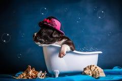 American Staffordshire Terrier nimmt ein Bad Stockfotografie
