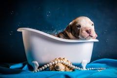 American Staffordshire Terrier nimmt ein Bad Lizenzfreie Stockfotos