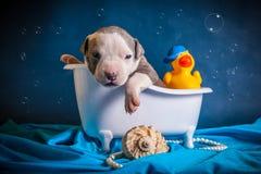 American Staffordshire Terrier nimmt ein Bad Stockbild