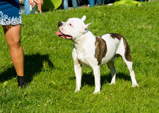 The American Staffordshire Terrier obedience.  Royalty Free Stock Photography