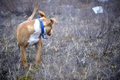 American Staffordshire Terrier outdoor Stock Photos