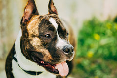 American Staffordshire Terrier Outdoor Royalty Free Stock Image