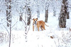 American Staffordshire Terrier outdoor portrait Royalty Free Stock Image