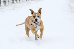 American Staffordshire Terrier outdoor portrait Royalty Free Stock Photo