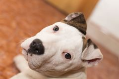 American Staffordshire terrier. Pets. Dogs royalty free stock photo