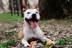 American Staffordshire Terrier playing with a ball Royalty Free Stock Photography
