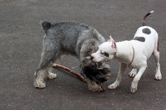 American staffordshire terrier is playing with the standard schnauzer. Stock Photo