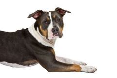 American staffordshire terrier portrait Stock Photos