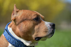 American staffordshire terrier portrait Stock Image