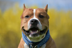 American staffordshire terrier portrait Royalty Free Stock Images