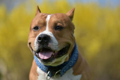 American staffordshire terrier portrait Royalty Free Stock Image