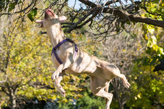 American  Staffordshire terrier power jumping high to reach a branch. Stock Photos