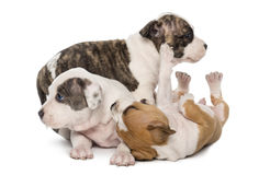 American Staffordshire Terrier Puppies playing Stock Photos