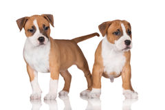 American staffordshire terrier puppies Royalty Free Stock Photography