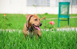 AMERICAN STAFFORDSHIRE TERRIER PUPPY. American Staffordshire terrier playing in the park Royalty Free Stock Photos