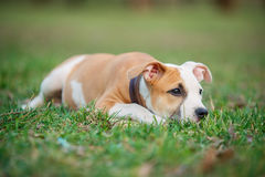 American Staffordshire terrier puppy. On a grass stock images
