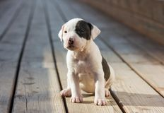 American Staffordshire terrier puppy Royalty Free Stock Photo