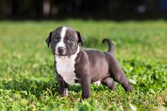 American Staffordshire terrier puppy Stock Photography