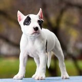 American Staffordshire terrier puppy Stock Photos
