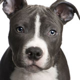 American Staffordshire terrier puppy (3 months). In front of a white background royalty free stock photography