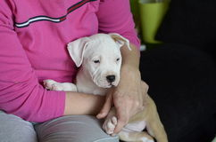 American Staffordshire Terrier Puppy Stock Photo