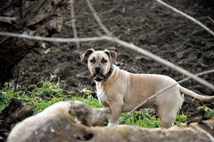 American Staffordshire Terrier puppy. Amstaff dog playing outdoor portrait stock photos