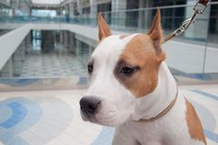 American staffordshire terrier puppy close up. Pet animals. Six month old stock photography