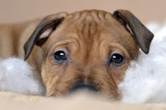 American staffordshire terrier puppy closeup. Portrait with fluffy covers, laying on bed Stock Photos