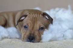 American staffordshire terrier puppy closeup Stock Images