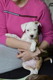 American staffordshire terrier puppy. Cute american staffordshire terrier puppy holding in  hand Royalty Free Stock Photos