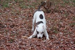 American staffordshire terrier puppy is frolicking on the autumn foliage. Six month old Stock Image