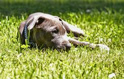 Amstaff puppy in grass royalty free stock image