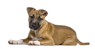 American Staffordshire Terrier puppy lying, isolated Royalty Free Stock Photo