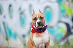 American staffordshire terrier puppy posing outdoors. American staffordshire terrier puppy outdoors royalty free stock photos