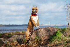 American staffordshire terrier puppy posing outdoors stock photo