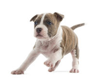American Staffordshire Terrier Puppy running. 6 weeks old, against white background stock photos