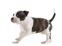 American Staffordshire Terrier Puppy running. 6 weeks old, against white background royalty free stock photo