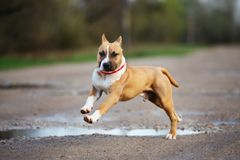 American staffordshire terrier puppy running outdoors. American staffordshire terrier puppy outdoors royalty free stock images