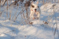 American staffordshire terrier puppy is running on white snow. Pet animals. Seven month old stock photos