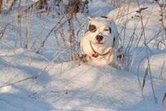 American staffordshire terrier puppy is running on white snow. Pet animals. Seven month old stock photo