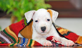 American Staffordshire terrier puppy Royalty Free Stock Photography