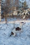 American staffordshire terrier puppy is sitting on white snow. Pet animals. Seven month old stock photos
