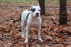 American staffordshire terrier puppy is standing on the autumn foliage. Pet animals. Royalty Free Stock Photography
