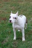 American staffordshire terrier puppy is standing on the green grass. Pet animals. Stock Image