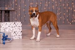 American staffordshire terrier puppy is standing near the festive gifts. Pet animals. Eight month old. Traditional holidays Stock Photos