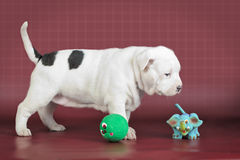 American staffordshire terrier puppy with toys Stock Images
