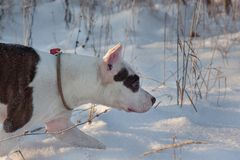 American staffordshire terrier puppy is walking on white snow. Pet animals. Seven month old stock photography