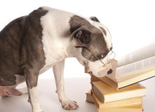 American staffordshire terrier reading Royalty Free Stock Images