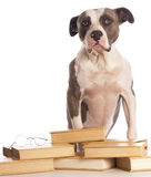 American staffordshire terrier reading Stock Photo